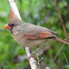 DSC_1755 Northern Cardinal May 15 2016