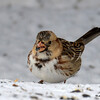 DSC_0247 Harris Sparrow Jan 15 2016