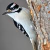 DSC_0146 Hairy Woodpecker Jan 9 2016