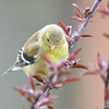 DSC_1704 American Goldfinch May 15 2016