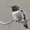 DSC_1800 Ruby-throated Hummingbird May 17 2016