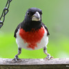 DSC_2684 Rose-breasted Grosbeak July 8 2016