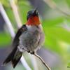 DSC_2284 Ruby-throated Hummingbird May 28 2016