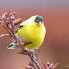DSC_1702 American Goldfinch May 15 2016