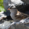 DSC_1502 White-crowned Sparrow May 14 2016