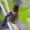 DSC_2283 Ruby-throated Hummingbird May 28 2016