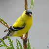 DSC_2267 American Goldfinch May 27 2016