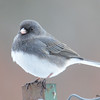 DSC_0108 Dark-eyed Junco Jan 9 2016