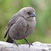 DSC_1795 Brown-headed Cowbird May 17 2016