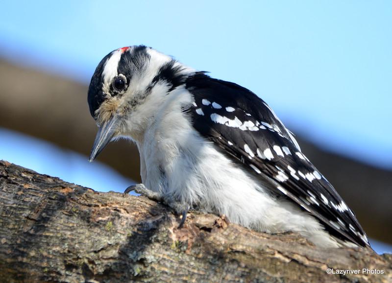 DSC_1418 Hairy Woodpecker Apr 30 2016