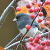 DSC_4778 Dark-eyed Junco Oct 30 2016