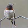 DSC_1803 Ruby-throated Hummingbird May 17 2016