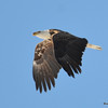 DSC_0752 Bald Eagle Feb 12 2016