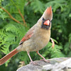DSC_1749 Northern Cardinal Rose-breasted Grosbeak May 15 2016