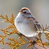 DSC_0267 American Tree Sparrow Jan 24 2016