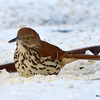 DSC_0222 Brown Thrasher Jan 15 2016