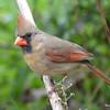 DSC_1756 Northern Cardinal May 15 2016