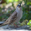 DSC_1480 White-crowned Sparrow May 14 2016