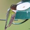 DSC_1628 Ruby-throated Hummingbird May 14 2016