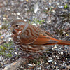 DSC_1209 Fox Sparrow Apr 4 2016