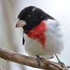 DSC_1742 Rose-breasted Grosbeak May 15 2016