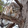 DSC_0421 Northern Saw-whet Owl Feb 4 2016
