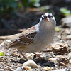 DSC_1467 White-crowned Sparrow May 14 2016