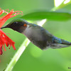 DSC_2794 Ruby-throated Hummingbird July 19 2016
