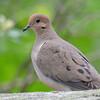 DSC_2384 Mourning Dove June 11 2016