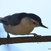 DSC_4798 White-breasted Nuthatch Nov 1 2016