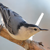 DSC_4800 White-breasted Nuthatch Nov 1 2016