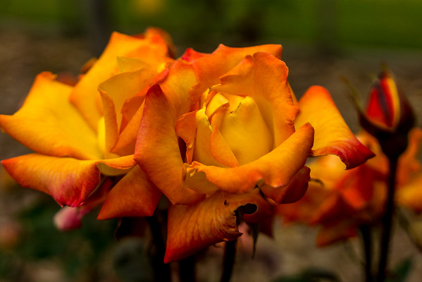 Yellow Roses with orange tips