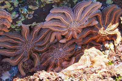 Starfish Tidepool