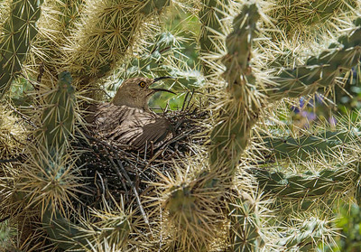 Curve Billed Thrasher-2