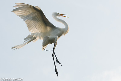 Dancing Egret copy 2