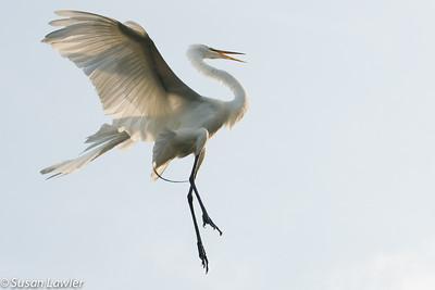 Dancing Egret copy 2