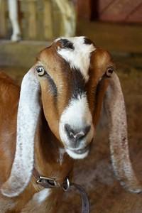 Goat cha