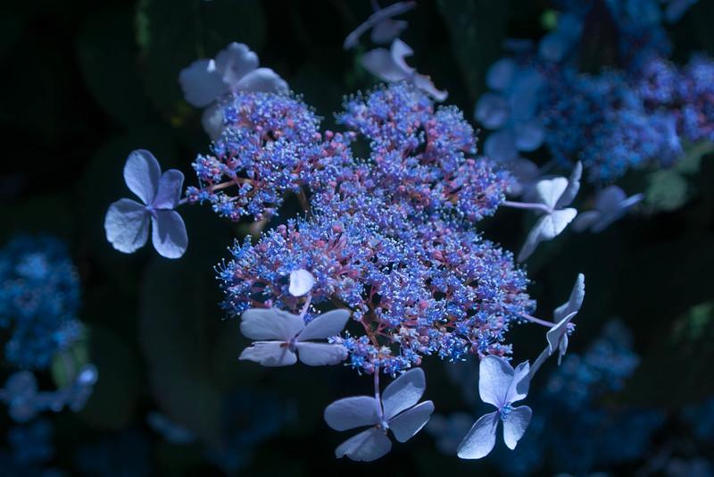 Hydrangea - Lace Cap