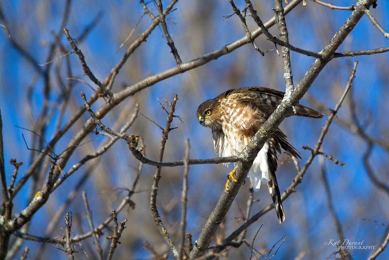 Coopers Hawk Jan 2016
