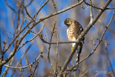 Cooper's Hawk 2016 60271