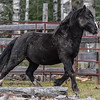 This black stallion wandered into a cattle corral with an open gate and then couldn't find his way out...