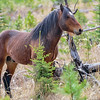 stallion
