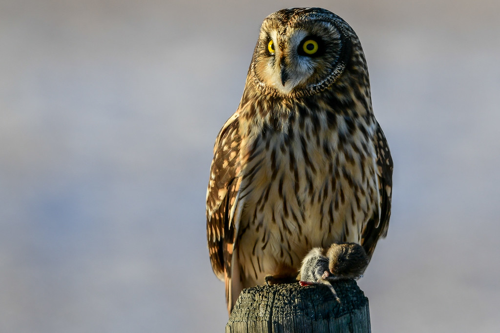 Short-eared Owl with a vole