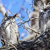 This is the last known picture of the Great Horned Owl pair before the male had a tragic accident.  The male is the top right owl.