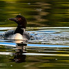 What happened last Friday is a 3rd Loon landed on the lake and then the fight was on. You can read about the Loons habits here to find out how the process works: http://www.bsc-eoc.org/download/BWCwi10.pdf