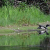 Loons fighting