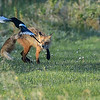 fox chases the magpie