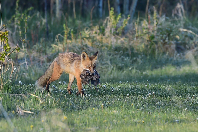 female fox with 2 gophers for the kits