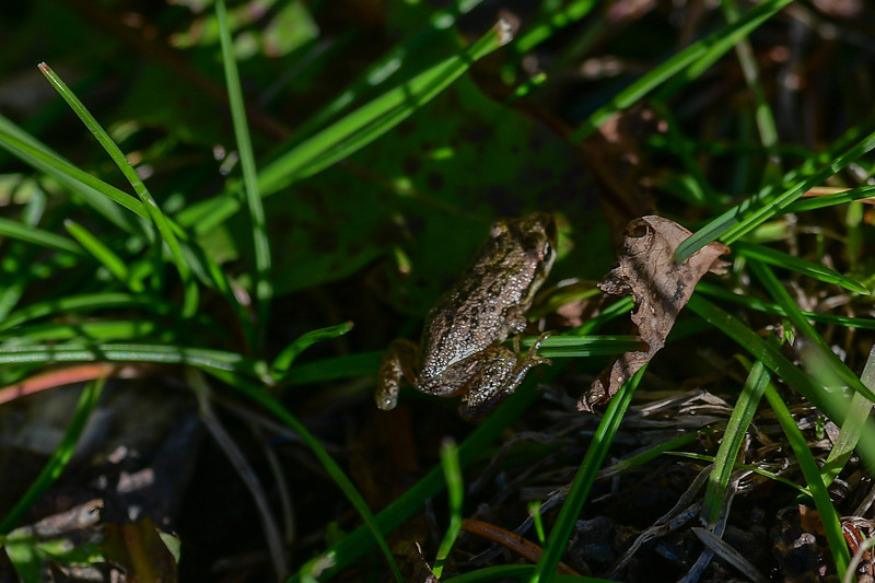 The boreal chorus frogs is the  smallest frog and probably our most common frog.