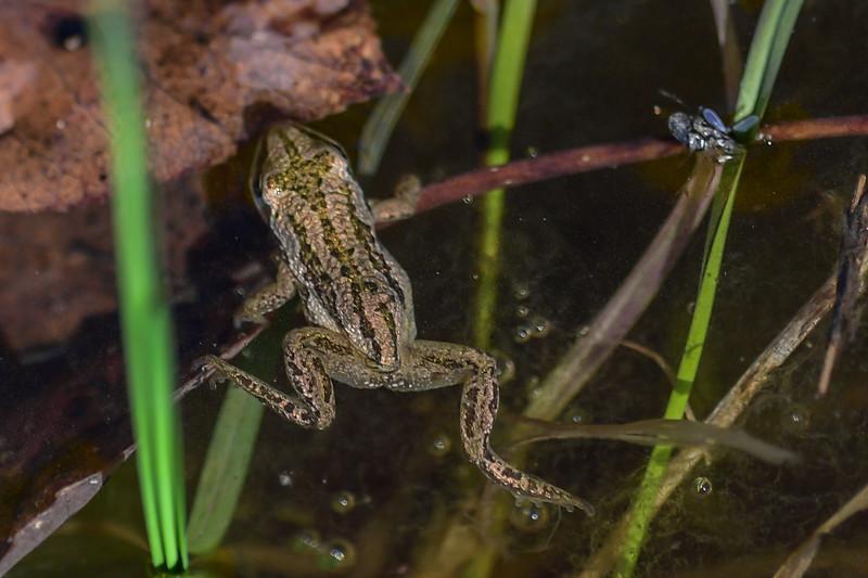 Chorus Frogs hibernate beneath logs or underground and are freeze tolerant.